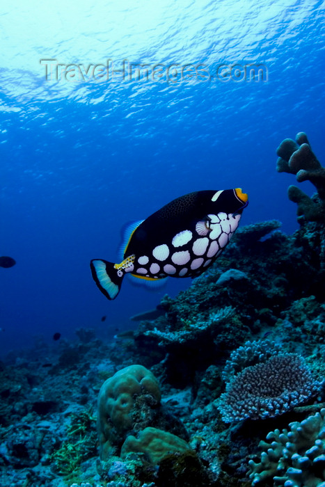 mal-u232: Sipadan Island, Sabah, Borneo, Malaysia: Clown Triggerfish on the coral reef - Balistoides conspicillum - photo by S.Egeberg - (c) Travel-Images.com - Stock Photography agency - Image Bank