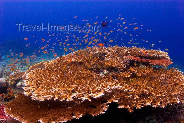 mal-u236: Sipadan Island, Sabah, Borneo, Malaysia: Fairy Basslets over table coral - Pseuanthias - photo by S.Egeberg - (c) Travel-Images.com - Stock Photography agency - Image Bank