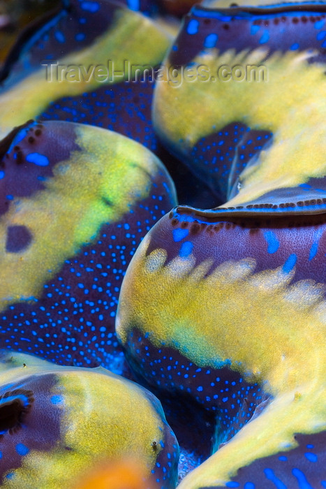 mal-u237: Sipadan Island, Sabah, Borneo, Malaysia: detail of Giant Clam on Turtle Patch - photo by S.Egeberg - (c) Travel-Images.com - Stock Photography agency - Image Bank