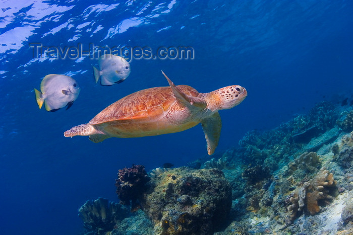 mal-u239: Sipadan Island, Sabah, Borneo, Malaysia: Green Seaturtle followed by fish - Chlonia Mydas - photo by S.Egeberg - (c) Travel-Images.com - Stock Photography agency - Image Bank