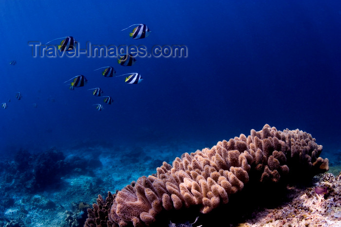mal-u243: Sipadan Island, Sabah, Borneo, Malaysia: group of Longfin Bannerfish over a coral - Heniochus Acuminat - photo by S.Egeberg - (c) Travel-Images.com - Stock Photography agency - Image Bank