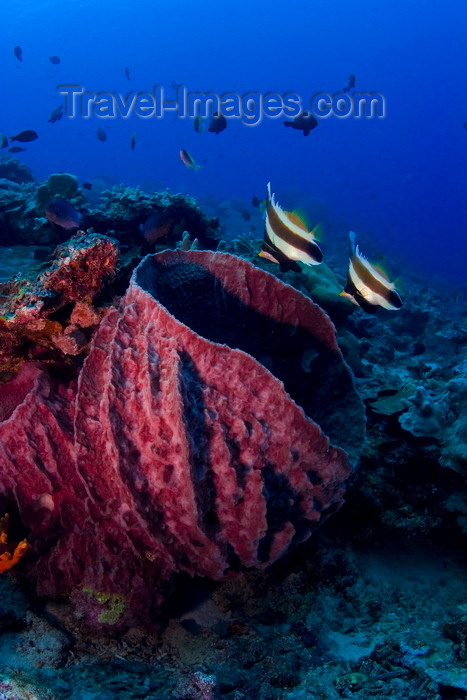 mal-u246: Sipadan Island, Sabah, Borneo, Malaysia: barrel sponge and fish - marine life of Pulau Sipadan - photo by S.Egeberg - (c) Travel-Images.com - Stock Photography agency - Image Bank