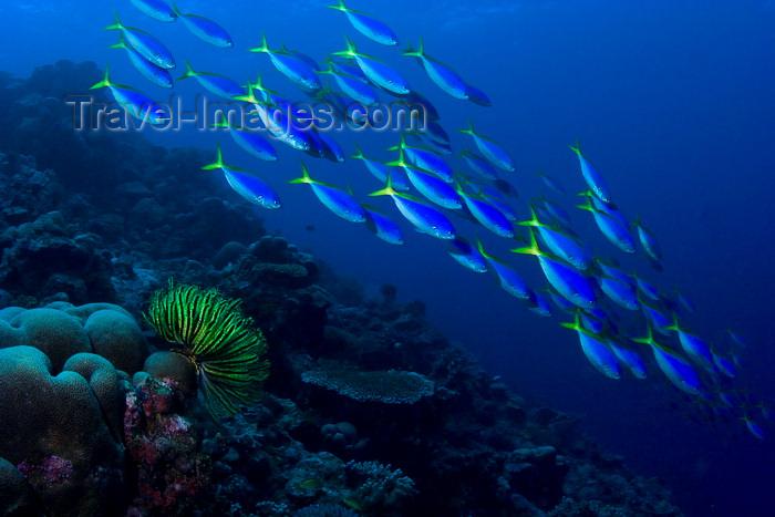 mal-u248: Sipadan Island, Sabah, Borneo, Malaysia: school of Blue and Yellow Fusiliers and fetherstar -  Caesio xanthonota - Celebes Sea - East Borneo - photo by S.Egeberg - (c) Travel-Images.com - Stock Photography agency - Image Bank