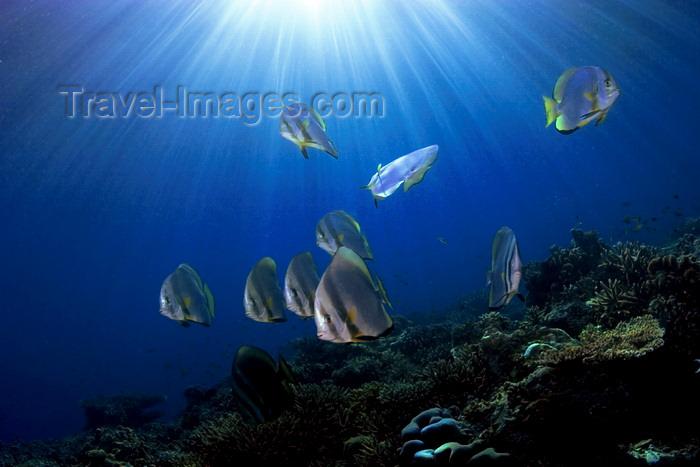 mal-u250: Sipadan Island, Sabah, Borneo, Malaysia: school of Circular Batfish under the sun - Platax orbicularis - photo by S.Egeberg - (c) Travel-Images.com - Stock Photography agency - Image Bank
