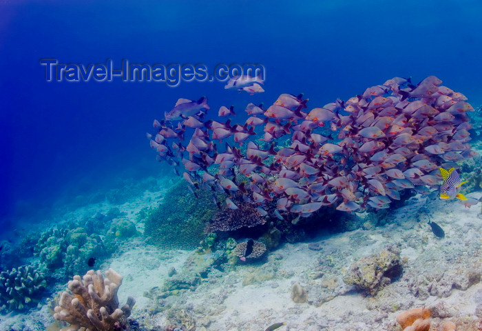 mal-u251: Sipadan Island, Sabah, Borneo, Malaysia: school of Humpback Snapper - Lutjanus gibbus - photo by S.Egeberg - (c) Travel-Images.com - Stock Photography agency - Image Bank