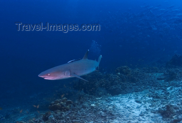 mal-u255: Sipadan Island, Sabah, Borneo, Malaysia: Whitetip Reefshark hunting -  Triaenodon Obesus - photo by S.Egeberg - (c) Travel-Images.com - Stock Photography agency - Image Bank