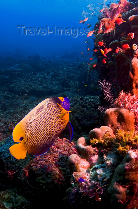 mal-u257: Sipadan Island, Sabah, Borneo, Malaysia: Yellowmask Angelfish inspects the reef - Pomacanthus xanthometopon - photo by S.Egeberg - (c) Travel-Images.com - Stock Photography agency - Image Bank