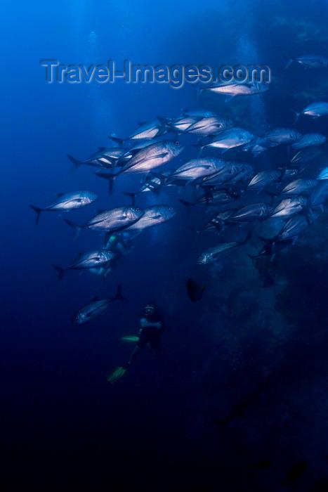 mal-u260: Sipadan Island, Sabah, Borneo, Malaysia: school of Big-Eye Trevally - Caranx sexfasciatus - photo by S.Egeberg - (c) Travel-Images.com - Stock Photography agency - Image Bank