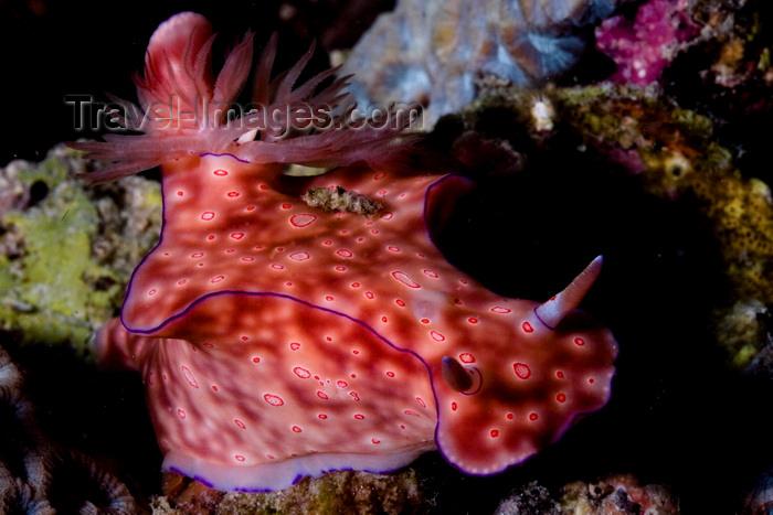 mal-u262: Mabul Island, Sabah, Borneo, Malaysia: Big red Nudibranch Chromodoris sp on the move - photo by S.Egeberg - (c) Travel-Images.com - Stock Photography agency - Image Bank