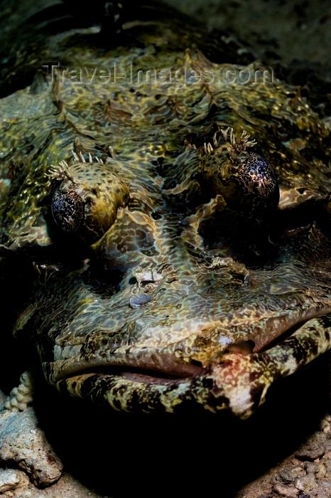mal-u266: Mabul Island, Sabah, Borneo, Malaysia: face of Crocodile Flathead - Cymbacephalus beauforti - photo by S.Egeberg - (c) Travel-Images.com - Stock Photography agency - Image Bank
