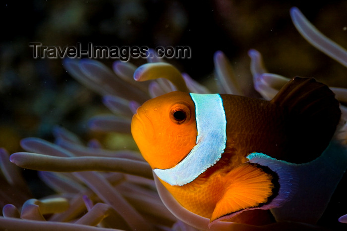mal-u267: Mabul Island, Sabah, Borneo, Malaysia: face of Western Clownfish and its host sea anemone - Amphiprion ocellaris - photo by S.Egeberg - (c) Travel-Images.com - Stock Photography agency - Image Bank