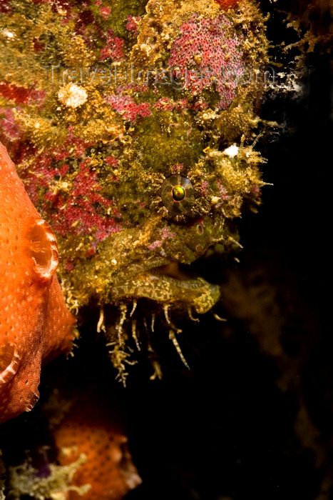mal-u270: Mabul Island, Sabah, Borneo, Malaysia: Freckled Frogfish - Antennarius coccineus - photo by S.Egeberg - (c) Travel-Images.com - Stock Photography agency - Image Bank
