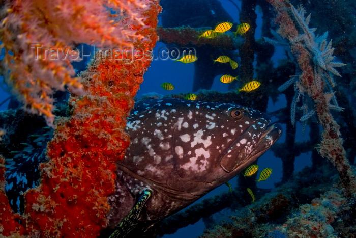 mal-u271: Mabul Island, Sabah, Borneo, Malaysia: Giant Grouper - Epinephelus Lanceolatus - photo by S.Egeberg - (c) Travel-Images.com - Stock Photography agency - Image Bank