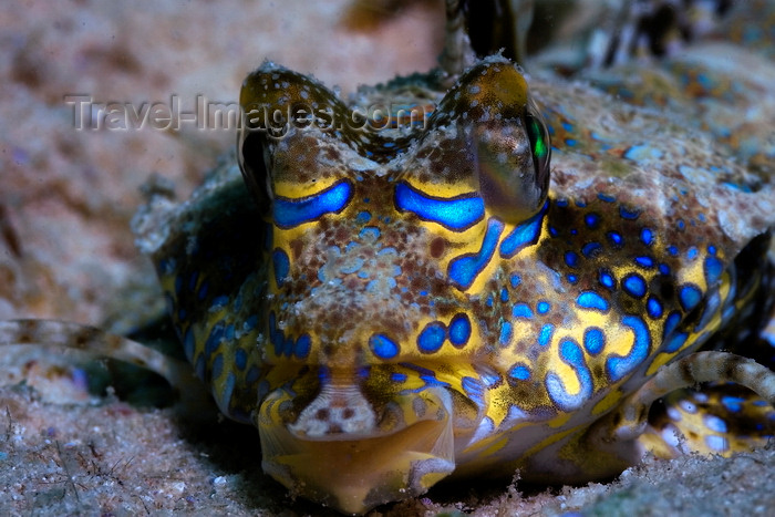 mal-u274: Mabul Island, Sabah, Borneo, Malaysia: head of Fingered Dragonet - Dactylopus dactylopus - photo by S.Egeberg - (c) Travel-Images.com - Stock Photography agency - Image Bank