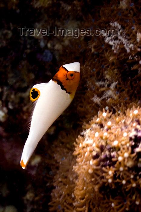 mal-u276: Mabul Island, Sabah, Borneo, Malaysia: juvenile Bicolor Parrotfish - Cetoscarus bicolor - photo by S.Egeberg - (c) Travel-Images.com - Stock Photography agency - Image Bank