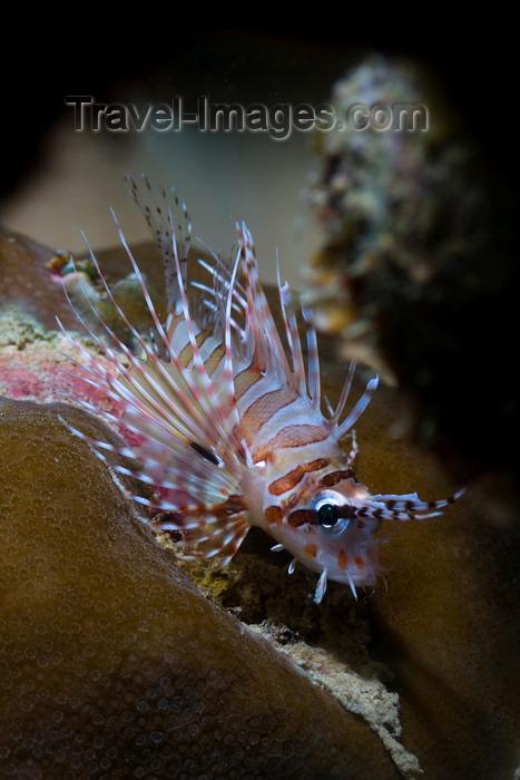 mal-u277: Mabul Island, Sabah, Borneo, Malaysia: juvenile Common Lionfish - Pterois Volitans - photo by S.Egeberg - (c) Travel-Images.com - Stock Photography agency - Image Bank