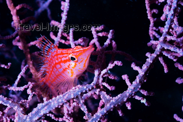 mal-u280: Mabul Island, Sabah, Borneo, Malaysia: Longnose Hawkfish in a cora - Oxycirrhites Typus - photo by S.Egeberg - (c) Travel-Images.com - Stock Photography agency - Image Bank