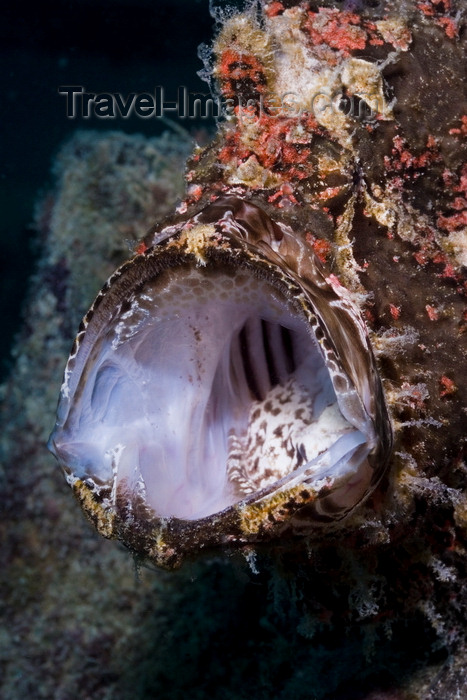 mal-u281: Mabul Island, Sabah, Borneo, Malaysia: Mouth of Giant Frogfish - Antennarius commerson - photo by S.Egeberg - (c) Travel-Images.com - Stock Photography agency - Image Bank