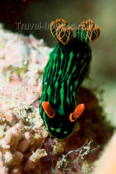 mal-u286: Mabul Island, Sabah, Borneo, Malaysia: Nudibranch Nembrotha sp. on rock - photo by S.Egeberg - (c) Travel-Images.com - Stock Photography agency - Image Bank