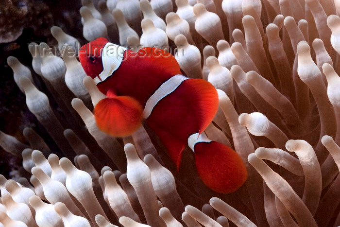 mal-u289: Mabul Island, Sabah, Borneo, Malaysia: Orange Clownfish in an anemone - Amphiphon Sandaracinos - photo by S.Egeberg - (c) Travel-Images.com - Stock Photography agency - Image Bank