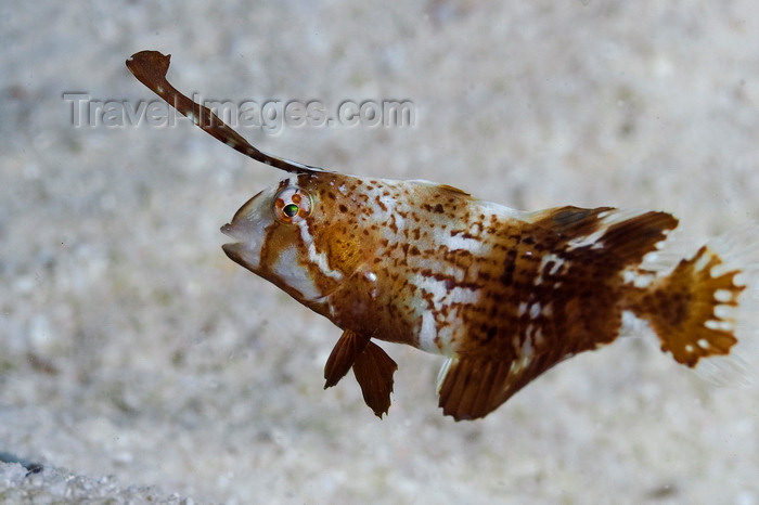 mal-u292: Mabul Island, Sabah, Borneo, Malaysia: Peacock Razorfish - Iniistius Pavo - photo by S.Egeberg - (c) Travel-Images.com - Stock Photography agency - Image Bank