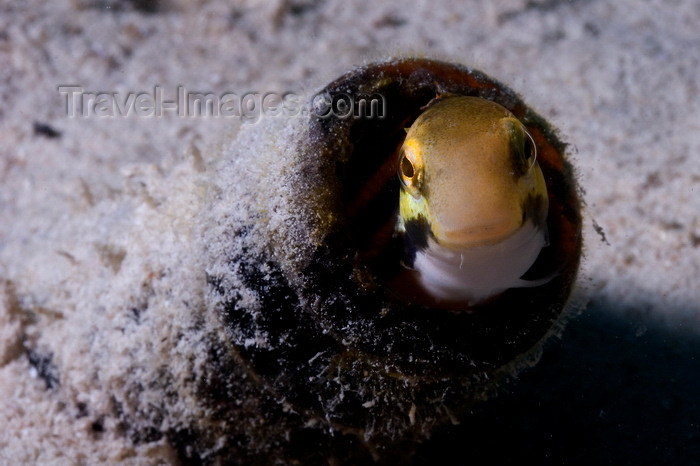 mal-u297: Mabul Island, Sabah, Borneo, Malaysia: Shorthead Fangblenny - Petroscirtes Breviceps - photo by S.Egeberg - (c) Travel-Images.com - Stock Photography agency - Image Bank
