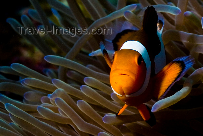 mal-u298: Mabul Island, Sabah, Borneo, Malaysia: single Western Clownfish in anemone - front view - Amphipnon Ocellaris - photo by S.Egeberg - (c) Travel-Images.com - Stock Photography agency - Image Bank