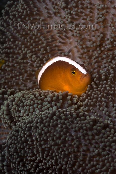 mal-u300: Mabul Island, Sabah, Borneo, Malaysia: Spinecheeek Clownfish seeks protection in its anemone - Premnas Biaculeatus - photo by S.Egeberg - (c) Travel-Images.com - Stock Photography agency - Image Bank