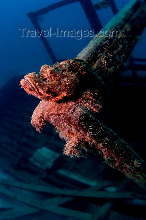 mal-u302: Mabul Island, Sabah, Borneo, Malaysia: Tasseled Scorpionfish sits on a wreck - Scorpaenopsis oxycephalus - photo by S.Egeberg - (c) Travel-Images.com - Stock Photography agency - Image Bank