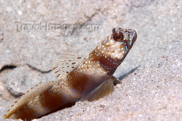 mal-u55: Metallic shrimp goby (Amblyeleotris latifasciata) on a shallow sandy lagoon floor,   Batu Nisan, Pulau Perhentian, South China sea, Penninsular Malaysia, Asia - (c) Travel-Images.com - Stock Photography agency - Image Bank