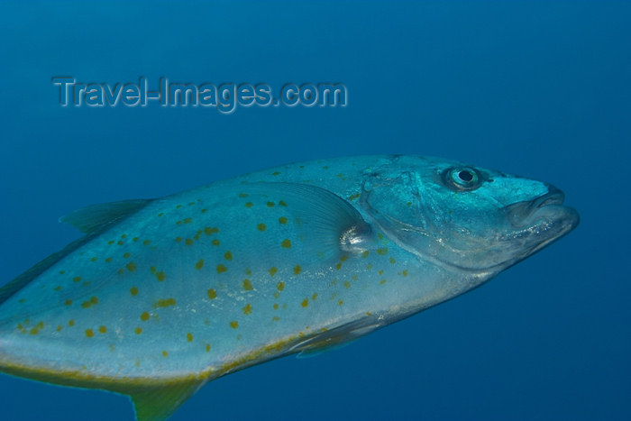mal-u70: Gold spotted trevally (Carangoides fulvoguttatus) hunting in the blue,
