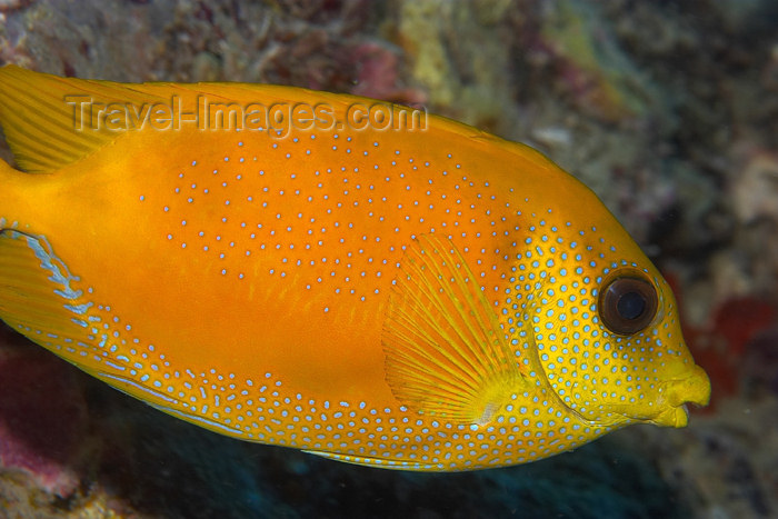 mal-u75: Coral rabbitfish (Siganus tetrazonus),   Temple of the sea, Pulau Perhentian, South China sea, Penninsular Malaysia, Asia - (c) Travel-Images.com - Stock Photography agency - Image Bank