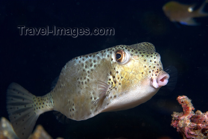 mal-u76: Rhino boxfish (ostracion rhinorhynchus) hovering over the reef with a black background,