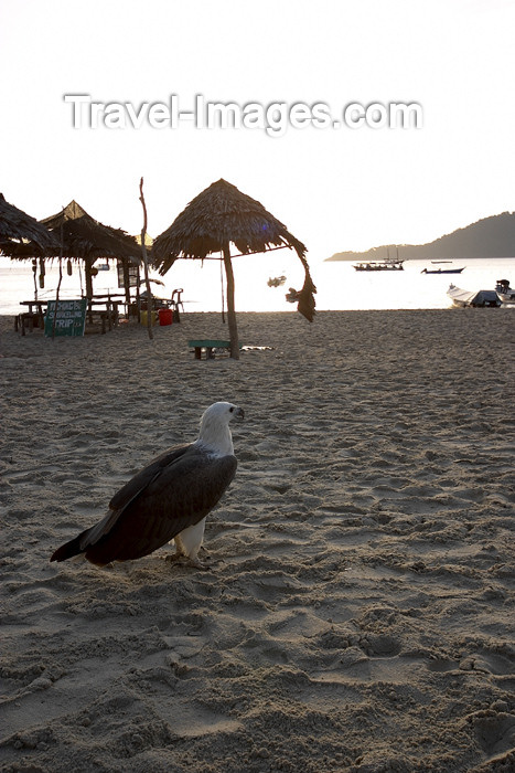 mal75: Malaysia - Pulau Perhentian / Perhentian Island: White bellied sea eagle observing - Haliaeetus leucogaster - photo by Jez Tryner - (c) Travel-Images.com - Stock Photography agency - Image Bank