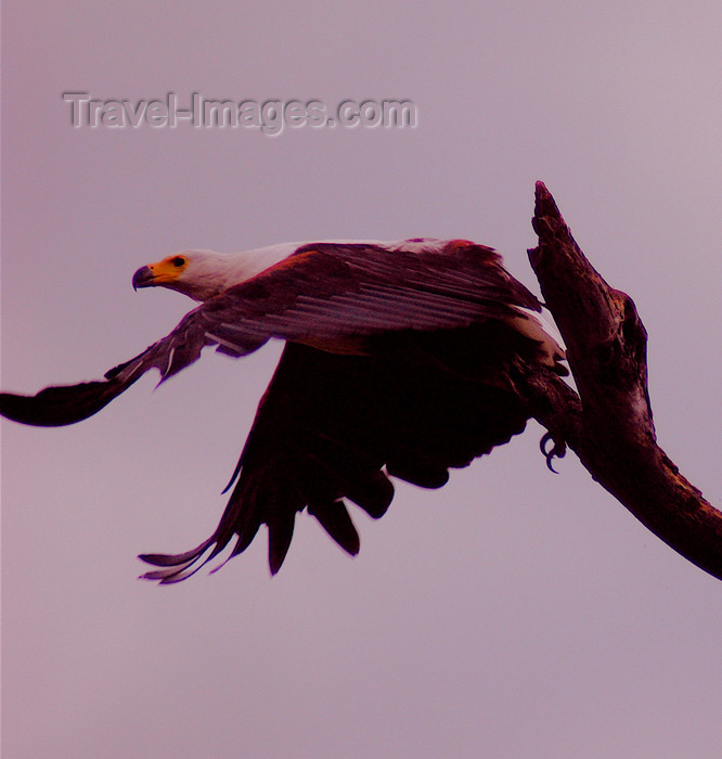 malawi1: Liwonde National Park, Southern region, Malawi: African Fish Eagle taking off - Haliaeetus vociferi - photo by D.Davie - (c) Travel-Images.com - Stock Photography agency - Image Bank