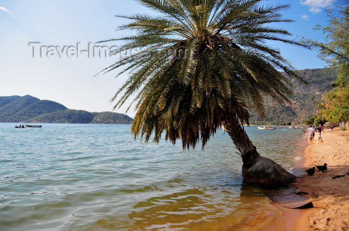 malawi100: Cape Maclear / Chembe, Malawi: Lake Malawi / Lake Nyasa - palm-tree leaning over the water - beach view with Domwe Island on the left - photo by M.Torres - (c) Travel-Images.com - Stock Photography agency - Image Bank