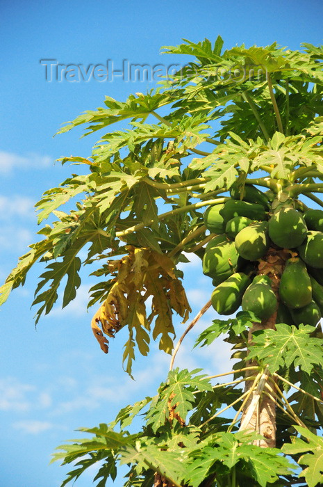 malawi103: Cape Maclear / Chembe, Malawi: papayas on the tree - Carica papaya - photo by M.Torres - (c) Travel-Images.com - Stock Photography agency - Image Bank