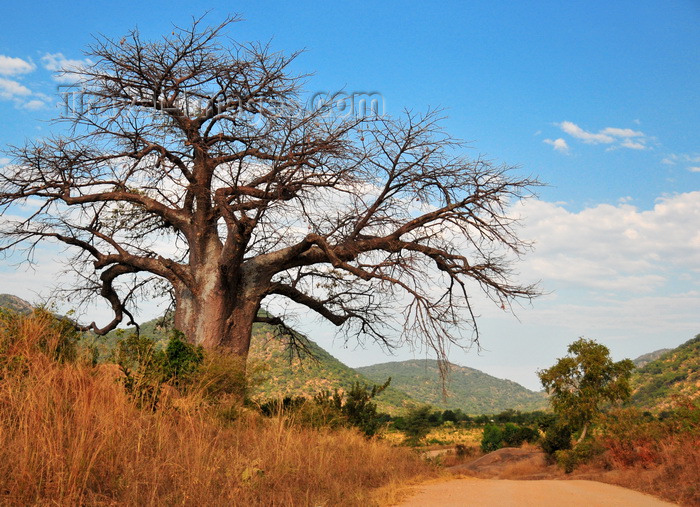 malawi104: Mbalamanja, Malawi: baobab by the dirt road - Adansonia digitata - photo by M.Torres - (c) Travel-Images.com - Stock Photography agency - Image Bank