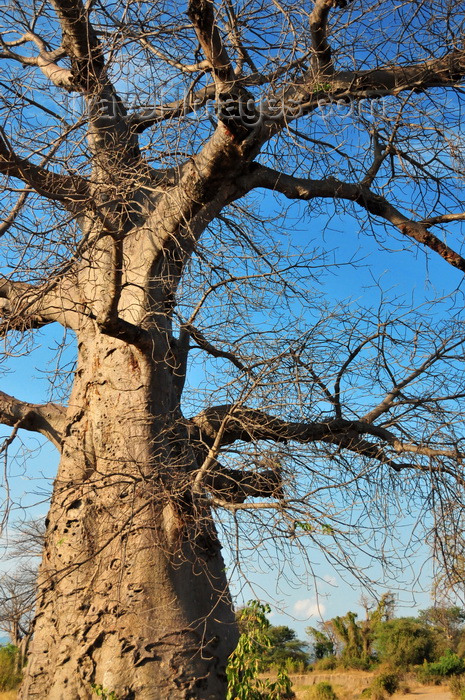 malawi105: Nkopola, Malawi: under a baobab in the scrubland - Adansonia digitata - photo by M.Torres - (c) Travel-Images.com - Stock Photography agency - Image Bank