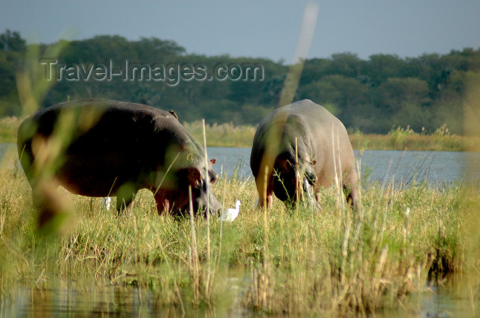 malawi12: Liwonde National Park, Southern region, Malawi: hippos grazing - Shire River plain - Hippopotamus amphibius - photo by D.Davie - (c) Travel-Images.com - Stock Photography agency - Image Bank