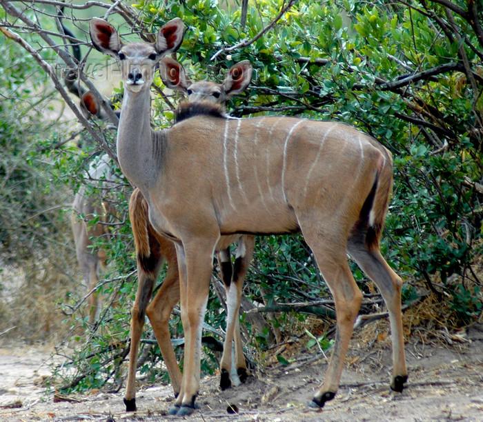 malawi13: Liwonde National Park, Southern region, Malawi: greater kudu - Tragelaphus strepsiceros - photo by D.Davie - (c) Travel-Images.com - Stock Photography agency - Image Bank