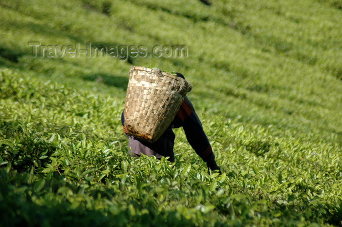 malawi14: Mt Mulanje, Southern region, Malawi: tea picker with basket - tea plantation worker - photo by D.Davie - (c) Travel-Images.com - Stock Photography agency - Image Bank