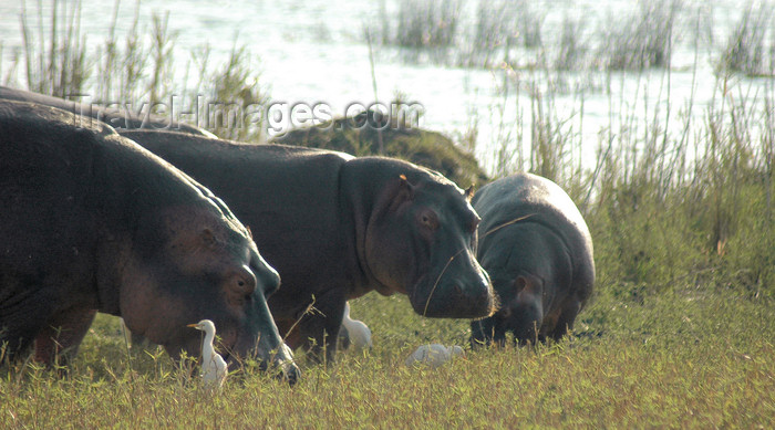 malawi19: Liwonde National Park, Southern region, Malawi: hippos and cattle egrets - Hippopotamus amphibius / Bubulcus ibis - photo by D.Davie - (c) Travel-Images.com - Stock Photography agency - Image Bank