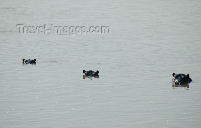 malawi2: Liwonde National Park, Southern region, Malawi: three hippos - eyes, ears, and nostrils above the water - Hippopotamus amphibius - photo by D.Davie - (c) Travel-Images.com - Stock Photography agency - Image Bank