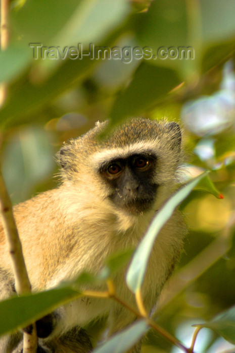 malawi20: Cape Maclear / Chembe, Mangochi District, Southern region, Malawi: Vervet monkey on a tree - Chlorocebus pygerythrus - Lake Malawi National Park - UNESCO World Heritage site - photo by D.Davie - (c) Travel-Images.com - Stock Photography agency - Image Bank