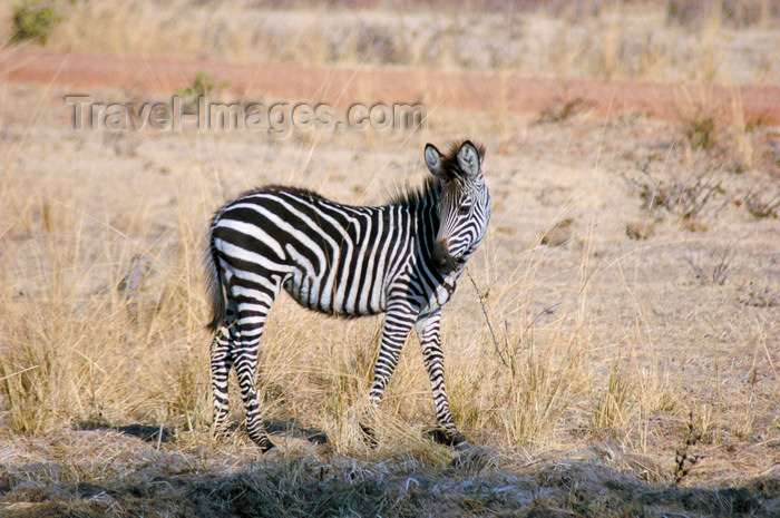 malawi23: Liwonde National Park, Southern region, Malawi: young Burchell's Zebra - Equus burchellii - photo by D.Davie - (c) Travel-Images.com - Stock Photography agency - Image Bank