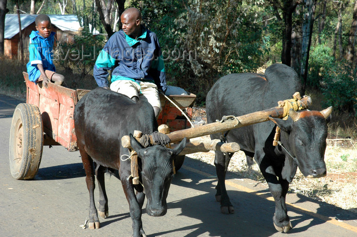 malawi26: Nkhoma, Lilongwe district, Central region, Malawi: ox cart - photo by D.Davie - (c) Travel-Images.com - Stock Photography agency - Image Bank