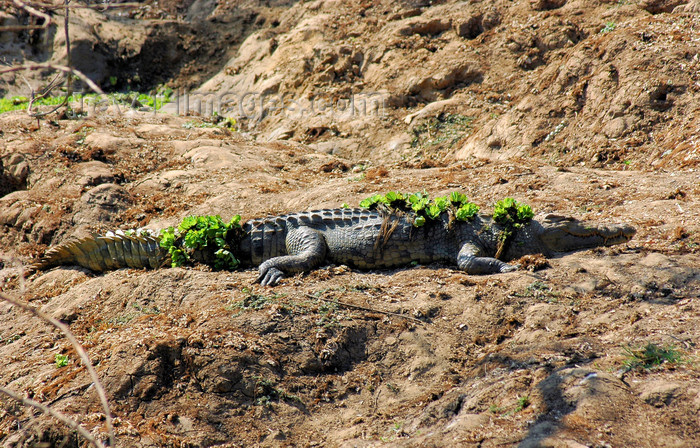 malawi30: Liwonde National Park, Southern region, Malawi: crocodile on shore - Crocodylus niloticus - photo by D.Davie - (c) Travel-Images.com - Stock Photography agency - Image Bank