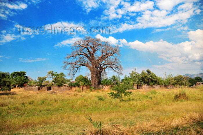 malawi72: Lake Malombe, Malawi: village compound built around a baobab tree - Adansonia digitata - photo by M.Torres - (c) Travel-Images.com - Stock Photography agency - Image Bank