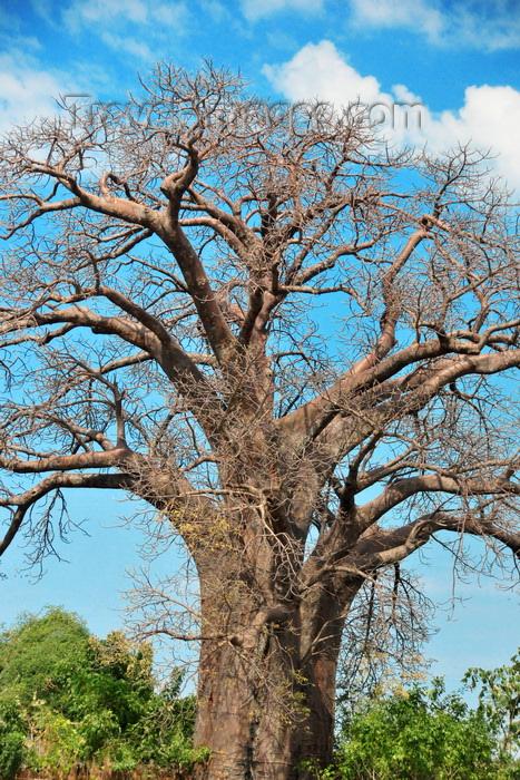 malawi74: Lake Malombe, Malawi: large baobab tree - Adansonia digitata - photo by M.Torres - (c) Travel-Images.com - Stock Photography agency - Image Bank